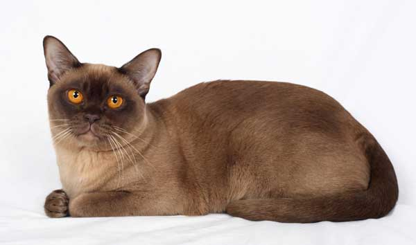 Burmese cat breeders in adelaide